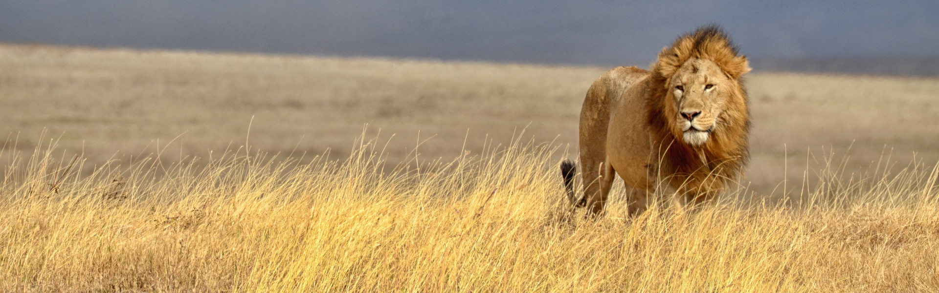 A Lion's Heart Beats with More Than Words • The MOYA Foundation